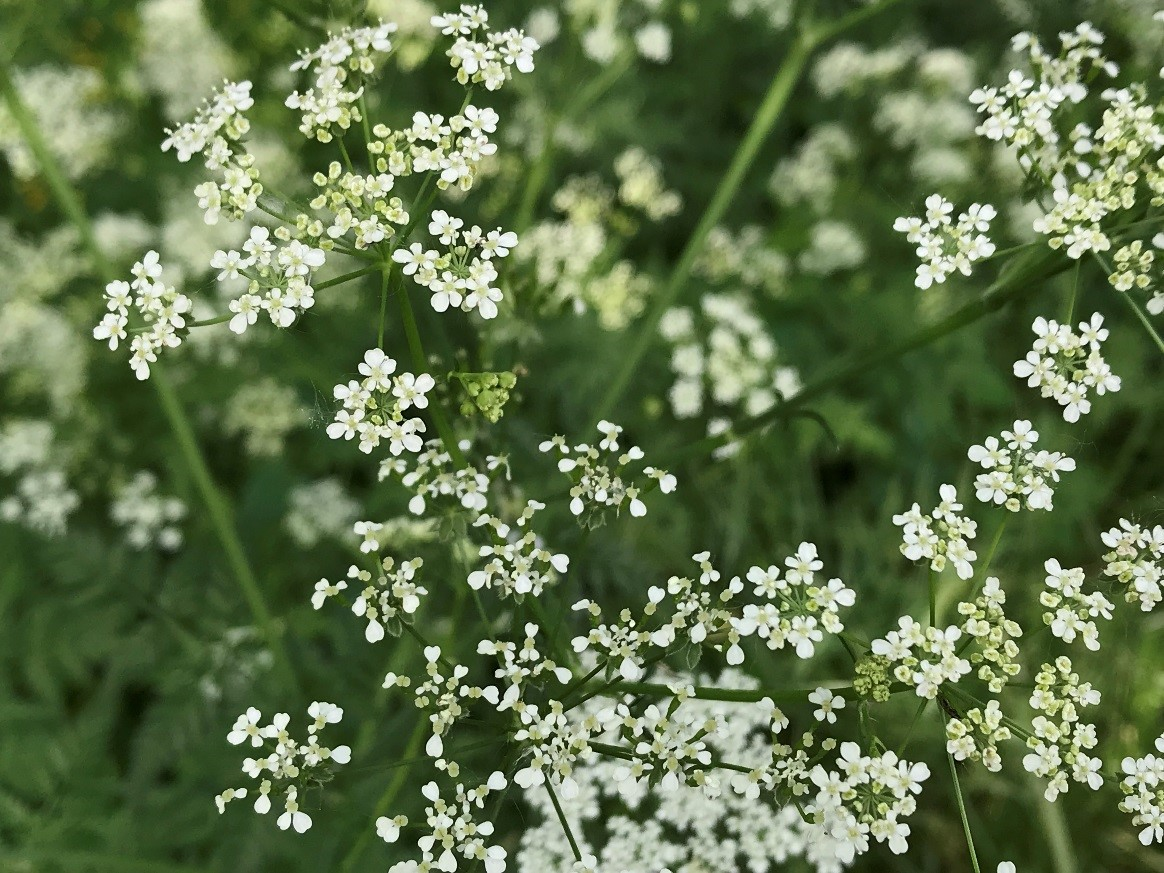 The flowers of Wild Chervil are small, white, and possess 5 petals.
