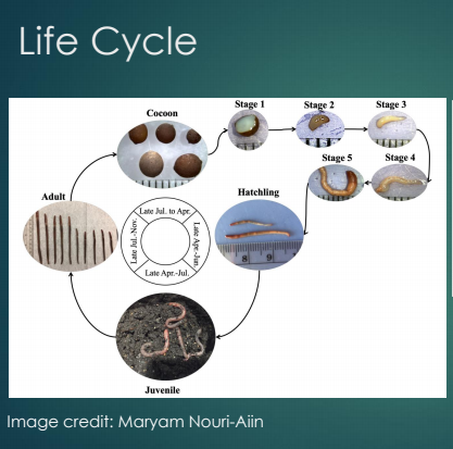 Jumping worm life cycle