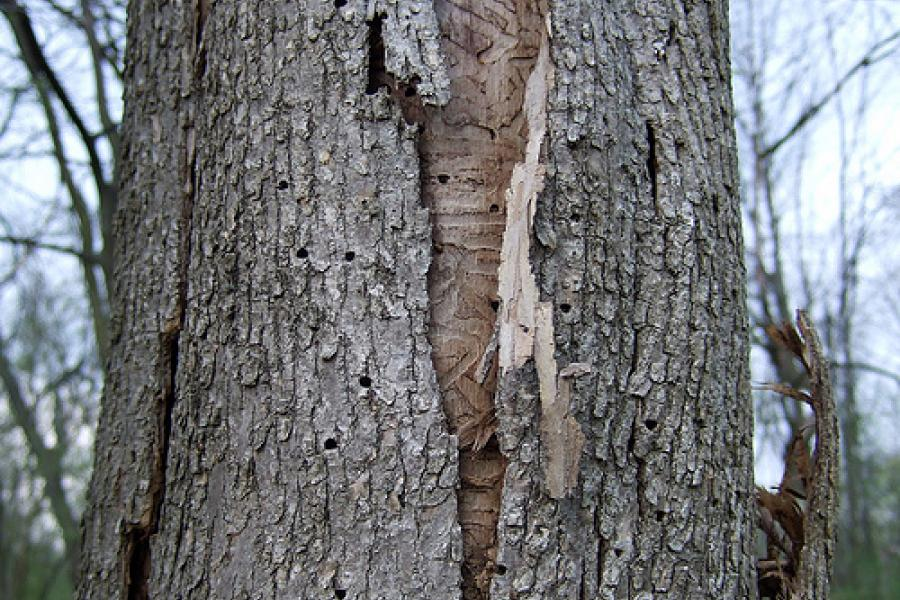 Bark splitting