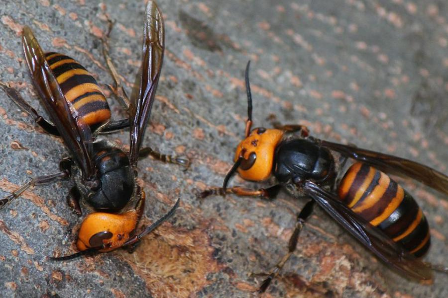 Asian giant hornet (Not found in Vermont)