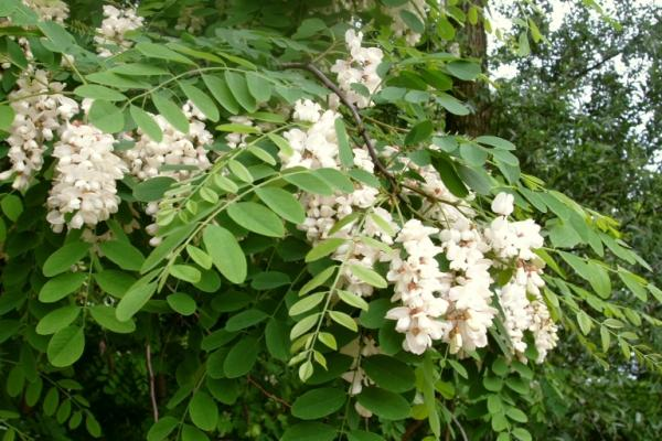 Black Locust flowers have five petals, and are arranged in a spike