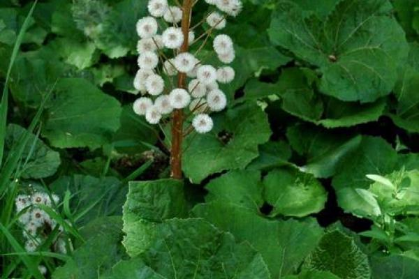 Butterbur sweet-coltsfoot: large heart-shaped leaves and seeds are attached to plumes of fine white bristles.