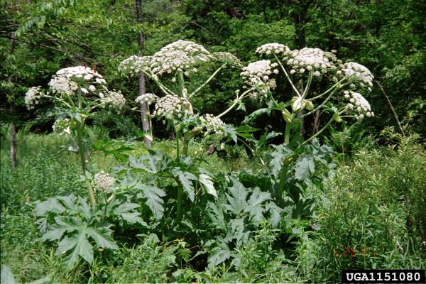 "Giant hogweed flower clusters have an ""umbrella shape"""