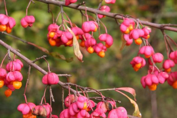 European spindle-tree: 4-lobed capsule, 1/2 inch across, pink to purple in color, splits open to reveal dark red seeds, ripens in fall.