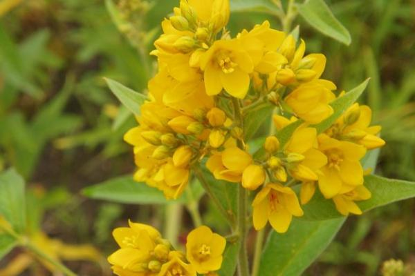 Golden loosestrife: flowers have five yellow petals, blooms primarily at the top of the stems.