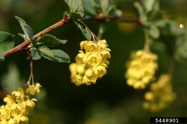 Common barberry has oval leaves, with toothed edges, flowers are pale yellow and appear in droopy clusters