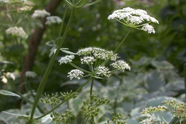 Goutweed: white flowers are arranged in umbels that are 2.25-4.75 in. in diameter. Each umbel is borne on a long peduncle.