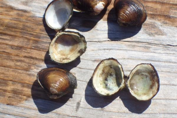 Asian clam shells