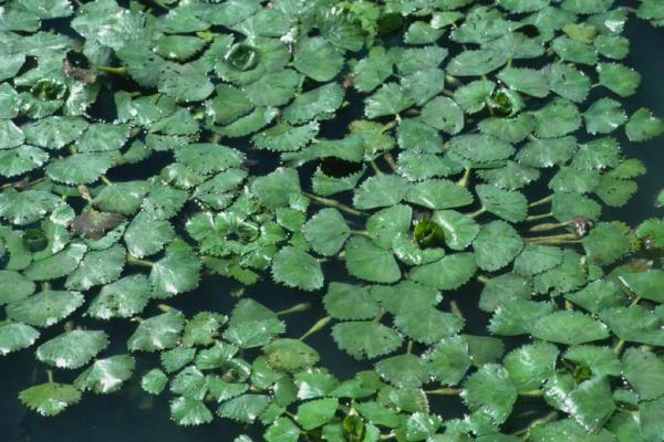 Close-up of water chestnut rosettes