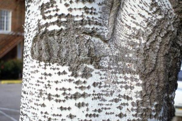 White Poplar Bark