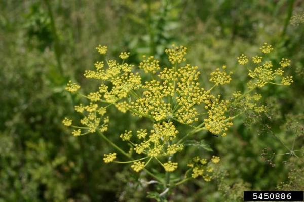 Wild parsnip: hundreds of yellow flowers develop. Flowers are arranged in an umbel.