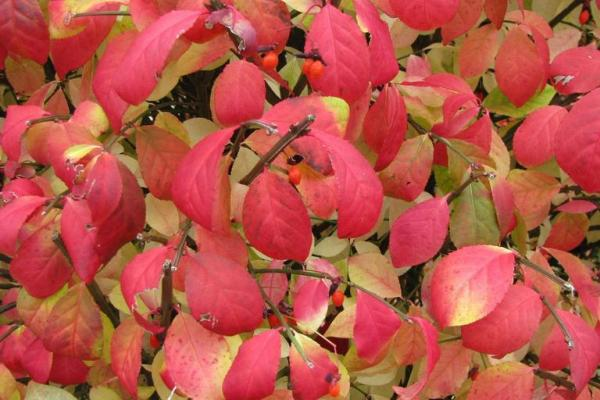 Burning bush: opposite leaves, that are elliptic or oval in shape, with a finely toothed edge, that turn red/purple in the fall.