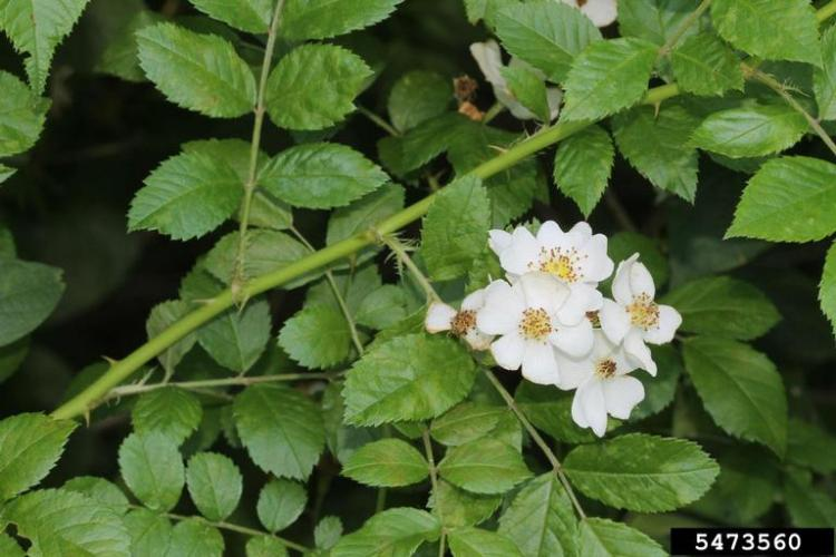 Multiflora rose: small, white to pinkish, 5-petaled flowers occur abundantly in clusters.