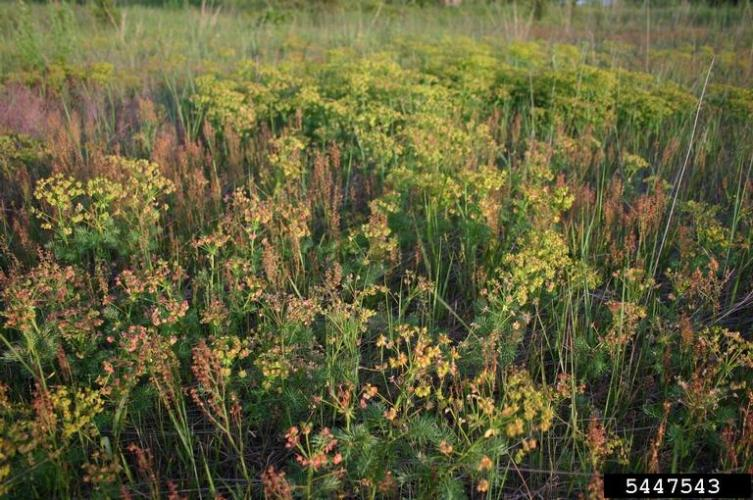 Cypress spurge infestation