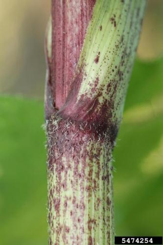 Giant hogweed has thick, hollow stems, with purple patches and course bristles
