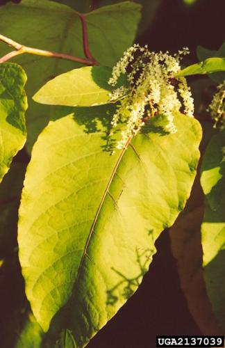 Giant knotweed: numerous small, greenish-white flowers appear in the leaf axils of the upper stems.