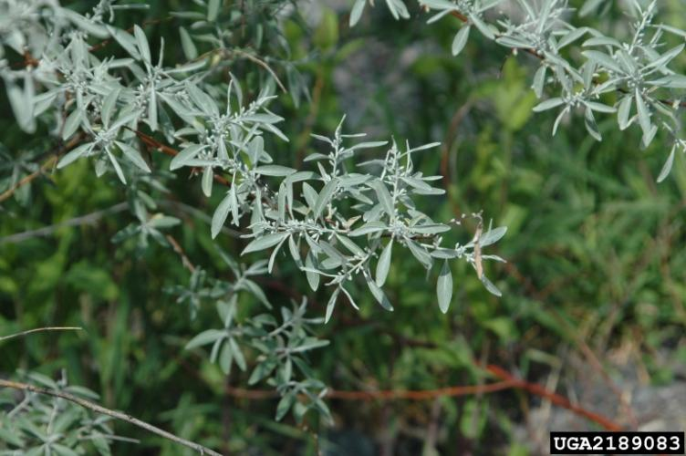 Russian olive: silvery scales cover both sides of its leaves.