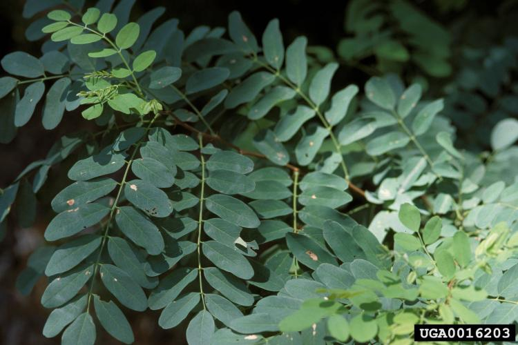 Black locust: leaves are pinnately compound, with small oval leaflets.