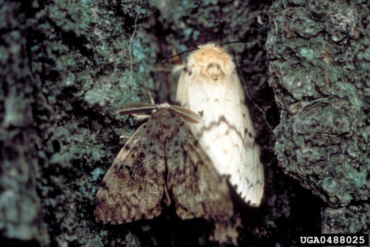 Gypsy moth: adults- male (left), female (right)