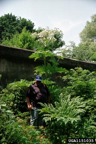 Giant hogweed can reach 15-20 feet tall