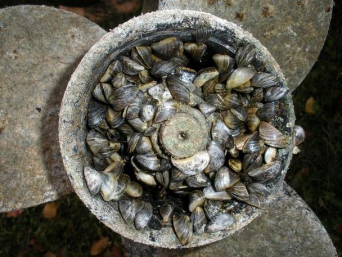 Zebra mussels attached to a boat motor