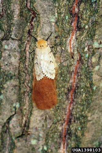 Gypsy moth: adult female and egg masses