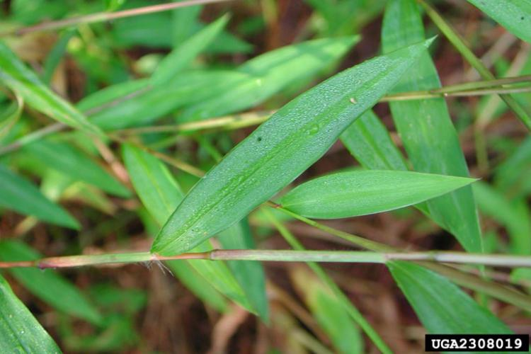Leaves are pale-green, with a slightly textured surface, and silvery lines along the blade