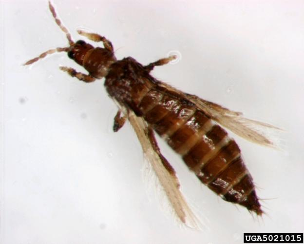 Pear thrips: adult insect.