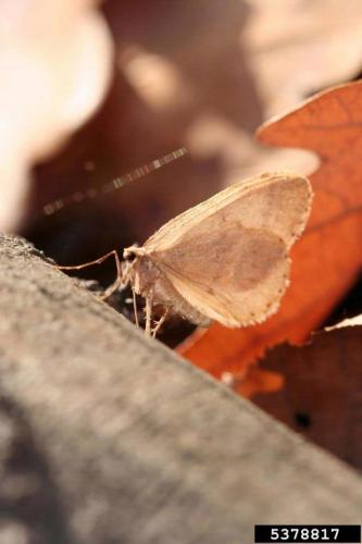 Winter moth: adult.
