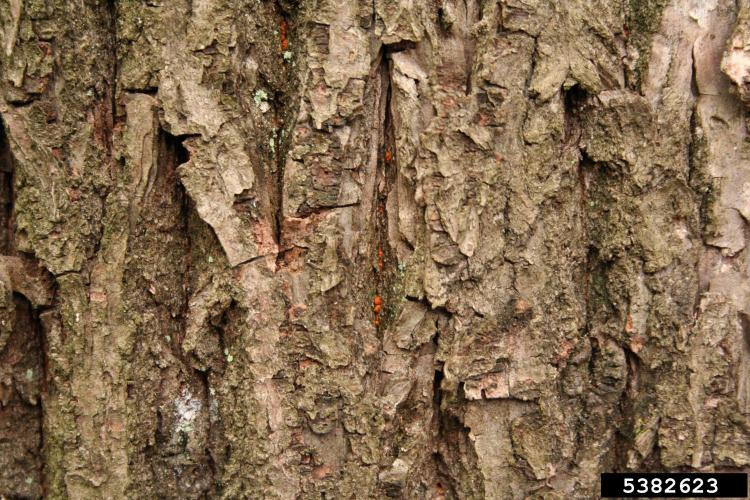 Chestnut blight: Yellow-orange, pin head sized fungal fruiting bodies (pycnidia) on the bark and cankers.