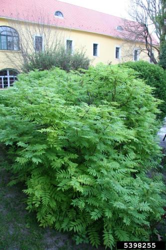 False Spiraea Infestation