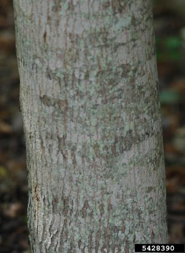 Amur maple: bark of the tree is smooth and gray.
