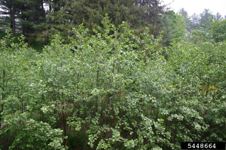 European alder: infestation.