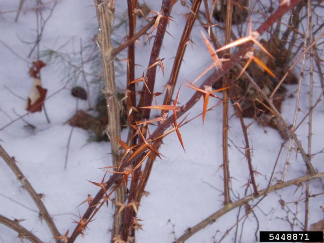Common barberry: spines are three-pronged.