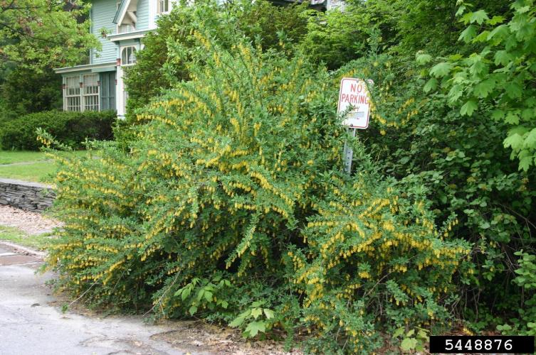 Common barberry: infestation.