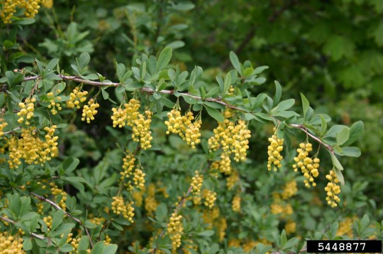 Common barberry: oval leaves, with toothed edges, flowers are pale yellow and appear in droopy clusters.
