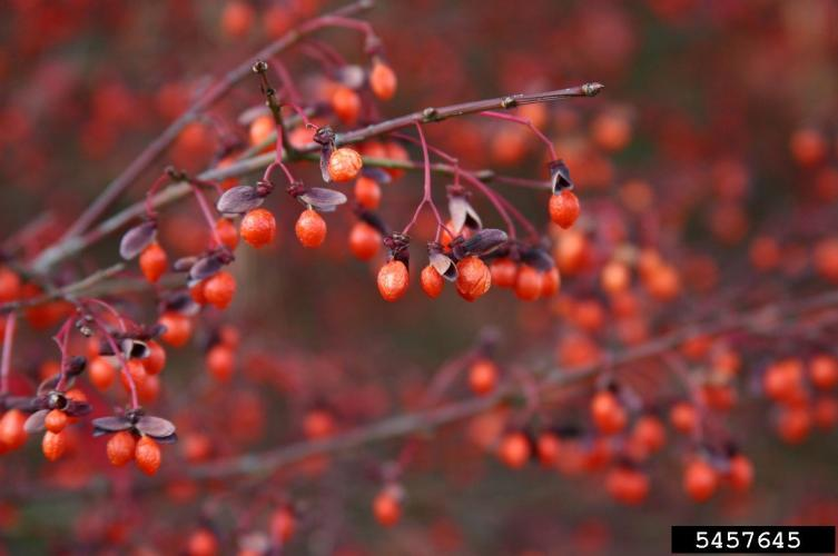Burning bush: fruit, reddish capsules that split to reveal orange fleshy seeds.