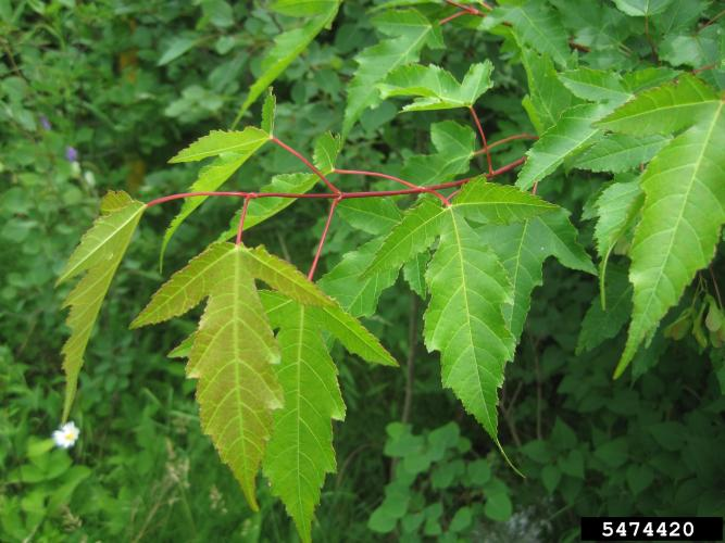Amur maple: leaf has three lobes, the center lobe is much more prominent than the other two lobes.