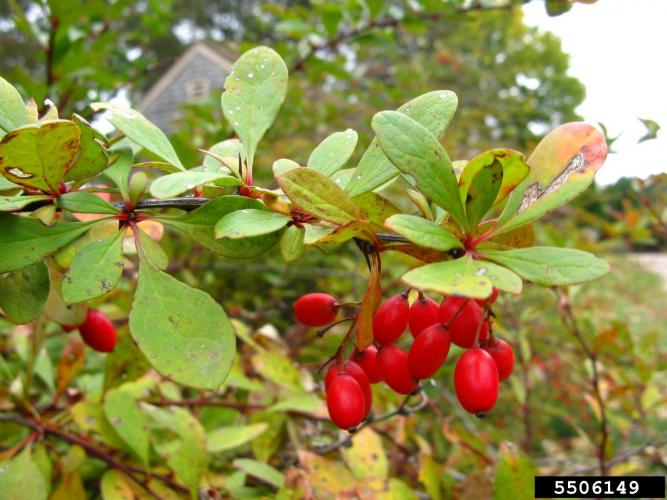 Common barberry: berries are red ellipsoids which are less than 0.3 in. in length and contain 1-3 small black seeds.