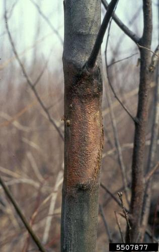 Chestnut blight: yellow-orange fungal fruiting bodies.