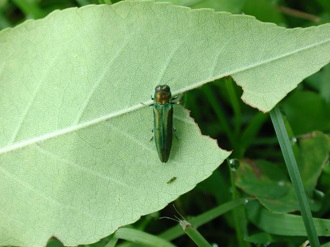 Emerald ash borer: adults are 1/4 to 1/2 inches long, narrow and bullet shaped with a flat back.
