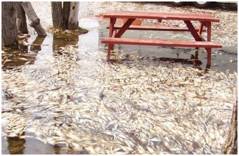 Certain conditions can cause large mortality events among alewives