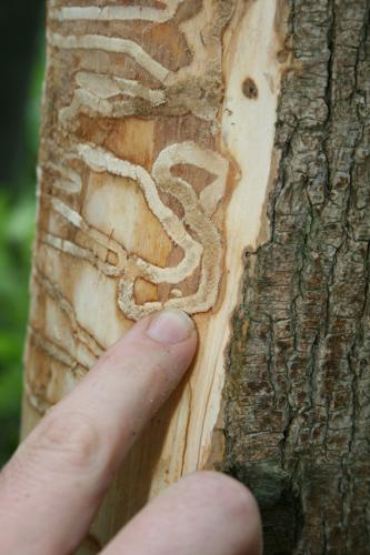 Emerald ash borer: s-shaped galleries from larval feeding.