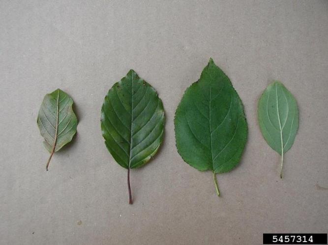 Glossy Buckthorn leaves (left) vs. Common Buckthorn leaves (right)
