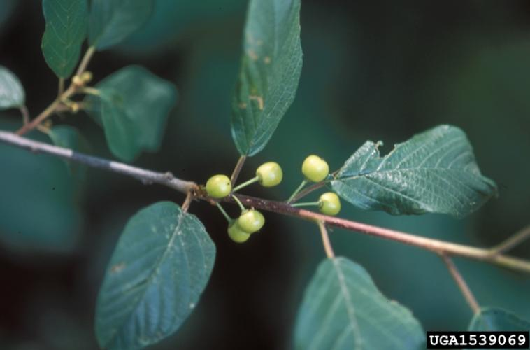 Glossy buckthorn leaf arrangement (alternate)
