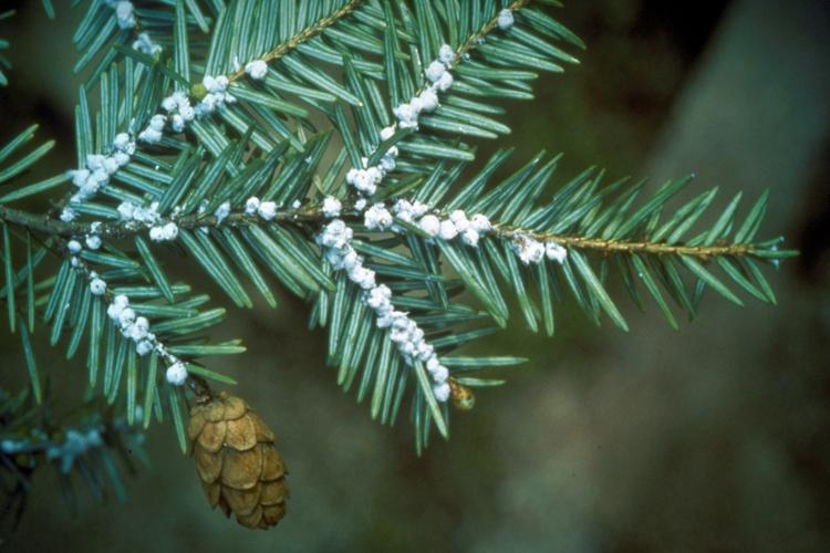 Hemlock woolly adelgid: white, cottony balls at base of hemlock needles.