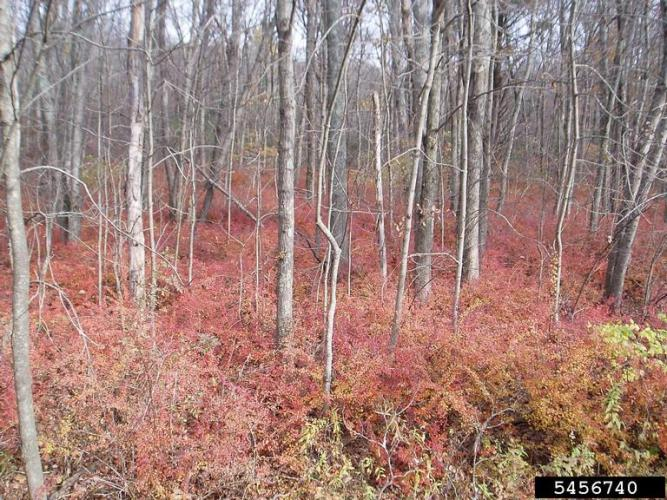 Japanese barberry: infestation in fall/winter.