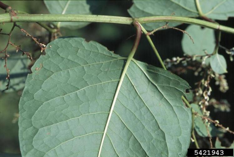 Japanese knotweed: leaves are large, with a squared off leaf base.