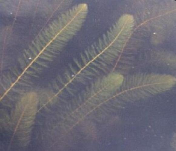 Variable-leaved watermilfoil