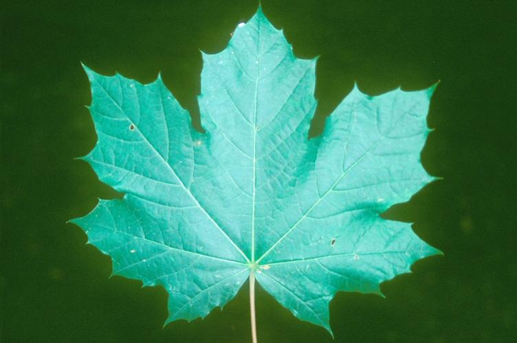 Norway maple: palmately lobed leaves are opposite and have 5 to 7 sharply acuminate lobes.